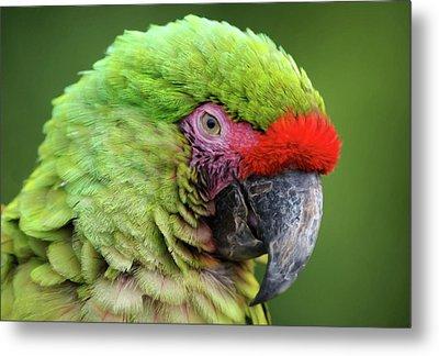 Sleepy Green Macaw Metal Print by Georgiana Romanovna