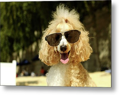 Smiling Poodle Wearing Sunglasses On Beach Metal Print by Stephanie Graf-Vocat - SGV Photography