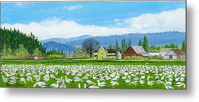 Snow Geese And A Farm House Metal Print by Bob Patterson