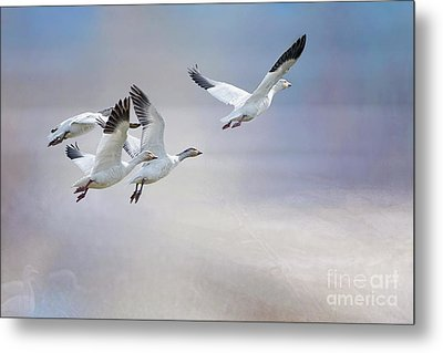 Metal Print featuring the photograph Snow Geese In Flight by Bonnie Barry