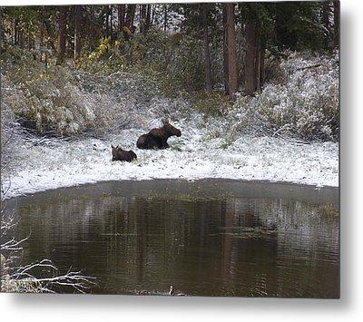 Snow Moose Metal Print by David Wilkinson