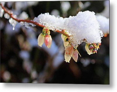 Snow On Blueberry Blossoms Metal Print by Kristin Elmquist