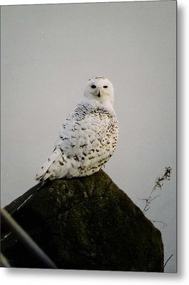 Metal Print featuring the photograph Snow Owl by Jack G  Brauer