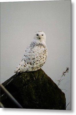 Snow Owl Metal Print by Jack G  Brauer