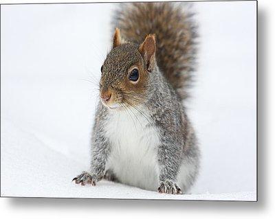 Snow Squirrel Metal Print by Karol Livote