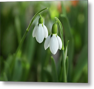 Metal Print featuring the photograph Snowdrops by Mary Jo Allen