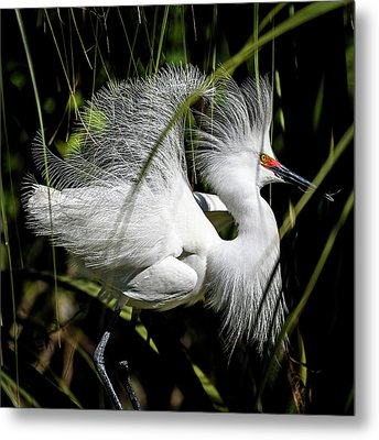 Metal Print featuring the photograph Snowy Egret by Steven Sparks