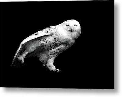 Snowy Owl Metal Print by Malcolm MacGregor