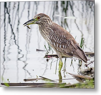Solitary Juvenile Metal Print by Dawn Currie