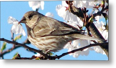 Song Sparrow Dining Out Metal Print by Angela Davies