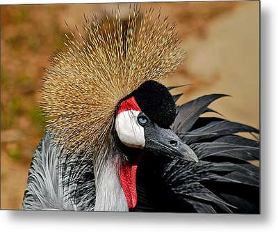 South African Crowned Crane Metal Print by Linda Brown
