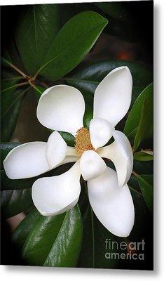 Southern Charm Magnolia Grandiflora Metal Print