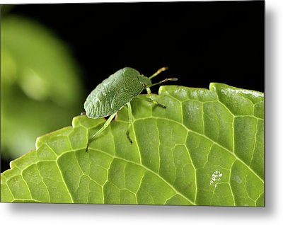 Southern Green Stink Bug Camouflaged On A Green Leaf Metal Print by Sami Sarkis