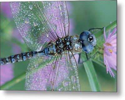 Southern Hawker Dragonfly Aeshna Cyanea Metal Print by Tim Fitzharris