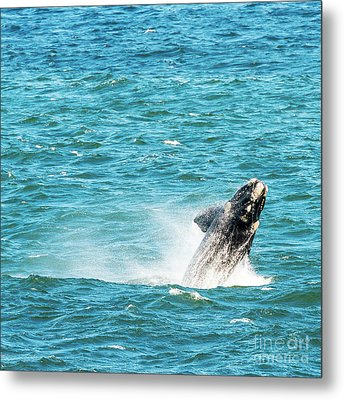 Southern Right Whale Breaching Metal Print by Tim Hester