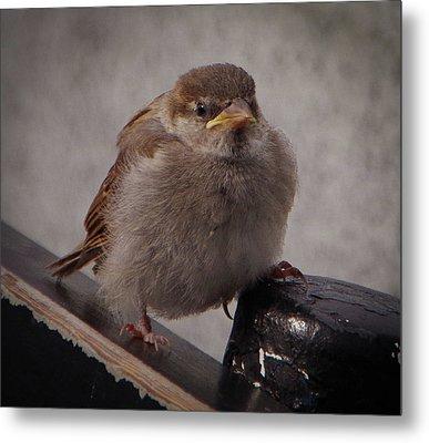 Sparrow Baby Metal Print