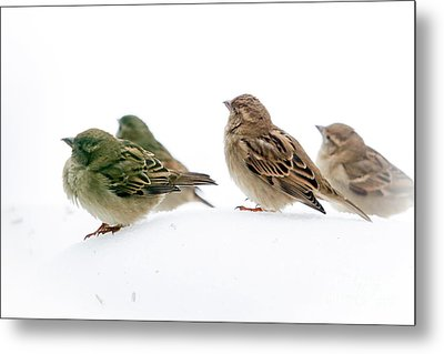 Sparrows In The Snow Metal Print