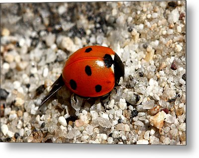 Spotted Ladybug Wings Dragging In Sand Metal Print