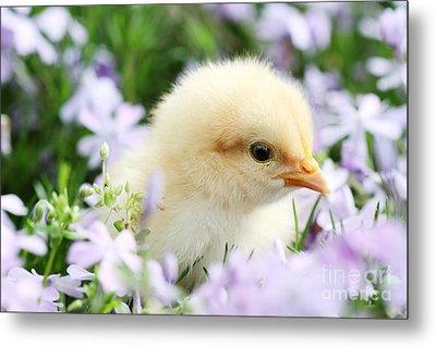 Spring Chick Metal Print by Stephanie Frey