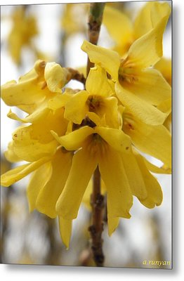 Spring Forsythia Blossoms Metal Print by Angie Runyan
