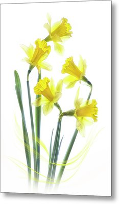 Spring Narcissus Metal Print by Jacky Parker