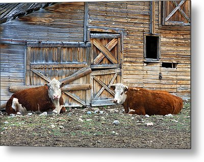 Squires Herefords By The Rustic Barn Metal Print by Karon Melillo DeVega