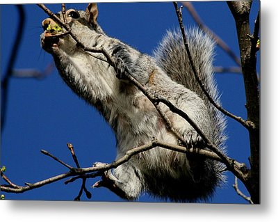 Metal Print featuring the photograph Squirrel 5 Up The Tree by Paul SEQUENCE Ferguson             sequence dot net