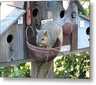 Squirrel Feeding Metal Print