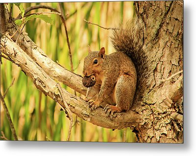 Squirrel In A Tree In The Marsh Metal Print