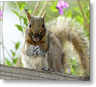 Squirrel Ready To Whistle Metal Print