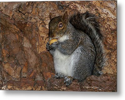 Metal Print featuring the photograph Squirrell by Pedro Cardona