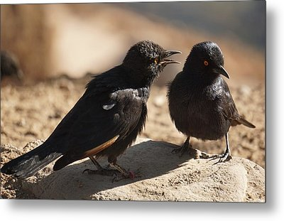 Starling Discussion. Metal Print