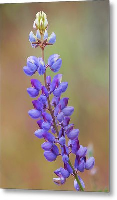 Metal Print featuring the photograph Stem Of Lupines by Ram Vasudev
