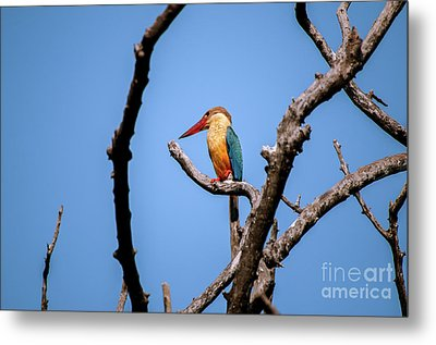 Stork-billed Kingfisher Metal Print by Venura Herath