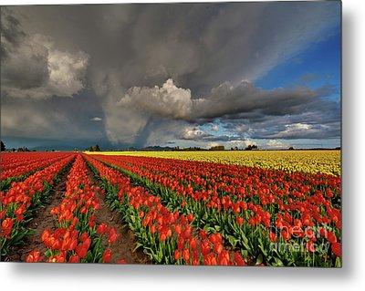 Storm Tulips Metal Print