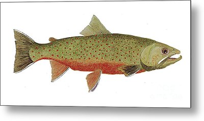 Study Of A Male Dolly Varden Char Metal Print