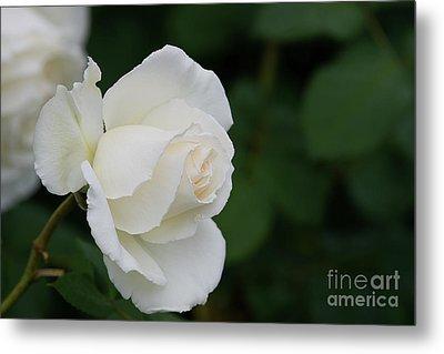 Stunning White Tineke Rose Metal Print