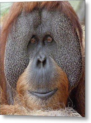 Sumatran Orangutan Male Metal Print
