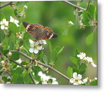 Metal Print featuring the photograph Summer Haw In Spring by Peg Urban
