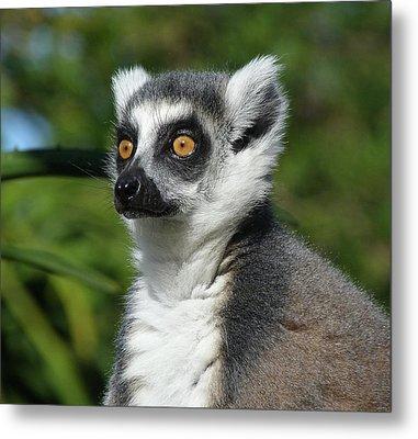 Summer Ring-tailed Lemur Metal Print