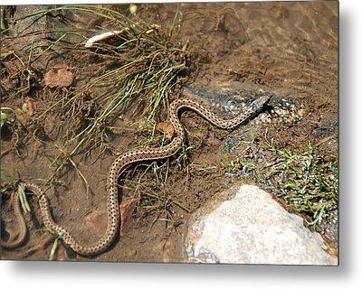 Sun Bathing Garter Snake Metal Print