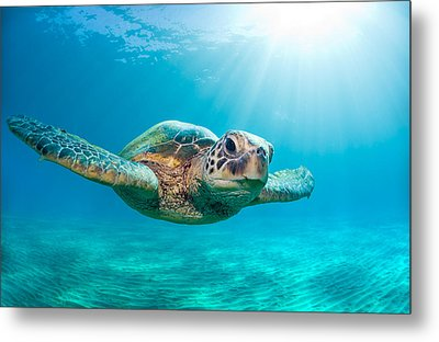 Sunburst Sea Turtle Metal Print by Monica and Michael Sweet