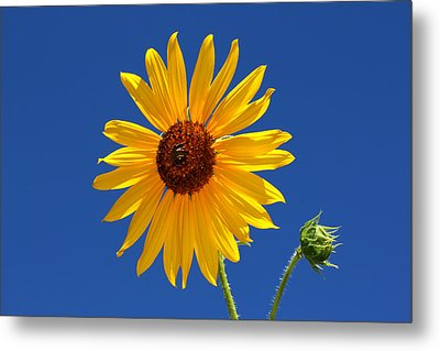 Sunflower Against Blue Sky Metal Print