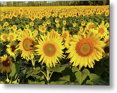Sunflower Faces Metal Print by Ann Bridges