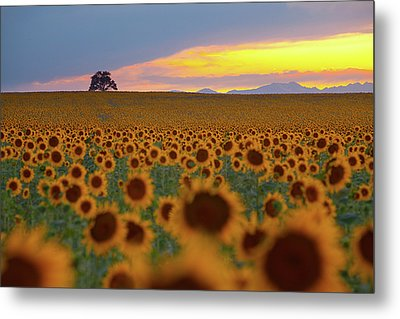 Sunflower Field Metal Print by Lightvision, LLC