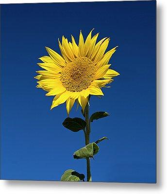 Sunflower Metal Print by Fotografias de Rodolfo Velasco