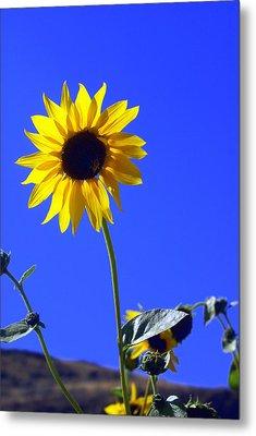 Sunflower Metal Print by Marty Koch