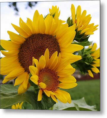 Sunflower Show Metal Print by Bruce Bley