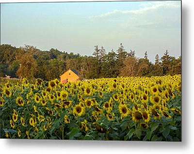 Sunflowers At Colby Farmstand Metal Print by Nicole Freedman