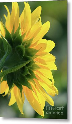 Sunlite Sunflower Metal Print